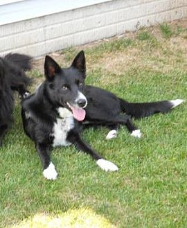 Border Collie Dog for adoption in Highland, Illinois - Corey