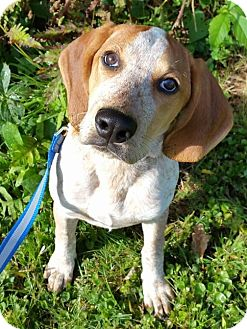 English (Redtick) Coonhound/Beagle Mix Puppy for adoption in Springfield, Vermont - Ginny