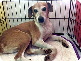 Feist/Shepherd (Unknown Type) Mix Dog for adoption in LEXINGTON, Kentucky - BRODY