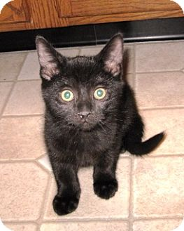 Domestic Shorthair Kitten for adoption in Kirkwood, Delaware - Sunshine