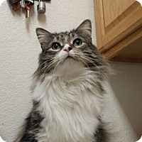 Adopt A Pet :: Cat-Lowell - Denver, CO