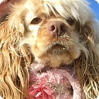 Adopt A Pet :: Bella Ru - Flushing, NY