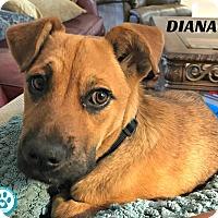 Adopt A Pet :: Diana - Kimberton, PA