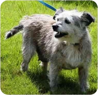 Cairn Terrier Mix Dog for adoption in Winder, Georgia - Baby