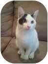 Domestic Shorthair Kitten for adoption in Kingwood, Texas - Thing2