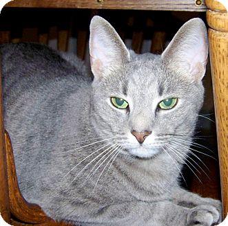 Domestic Shorthair Cat for adoption in Grand Rapids, Michigan - Blaze