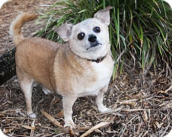 Chihuahua Dog for adoption in North Palm Beach, Florida - Pepe