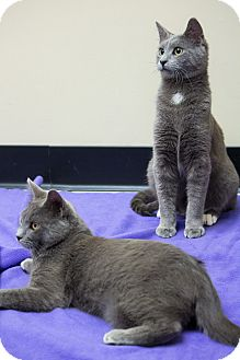 Russian Blue Cat for adoption in Chicago, Illinois - Harry & Walter