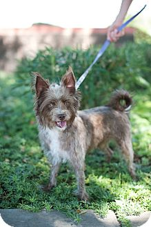 Cairn Terrier/Poodle (Miniature) Mix Dog for adoption in Gilbert, Arizona - Rudy