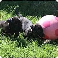 Adopt A Pet :: ~~PUPPIES~~ - DFW, TX