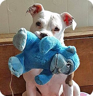 American Staffordshire Terrier/Terrier (Unknown Type, Medium) Mix Dog for adoption in Troy, Michigan - Lily
