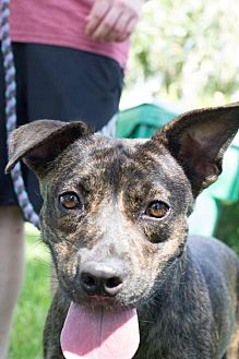 Staffordshire Bull Terrier Dog for adoption in Davie, Florida - Brindi