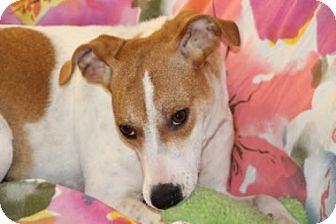 Italian Greyhound/Foxhound Mix Dog for adoption in Avon, New York - JaJa