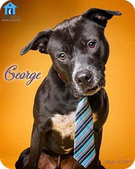 Labrador Retriever/Australian Cattle Dog Mix Dog for adoption in Columbia, Maryland - Georgie