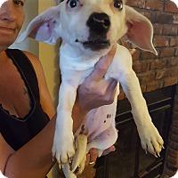 Adopt A Pet :: Dachshund Mix Girls - Victorville, CA