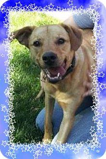 Labrador Retriever Mix Dog for adoption in Tipp City, Ohio - Buzz