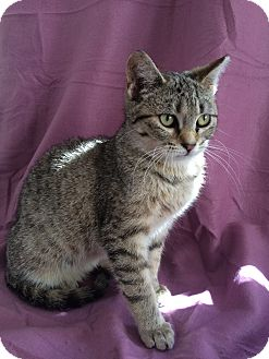 Domestic Shorthair Cat for adoption in Staten Island, New York - Shelly
