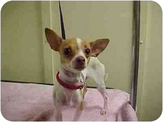 Chihuahua Puppy for adoption in Loudonville, New York - Tinkerbell (Tink)