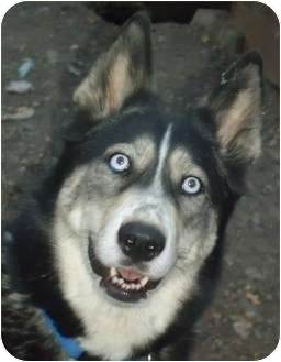 Siberian Husky Dog for adoption in Ashland, Oregon - Nanook