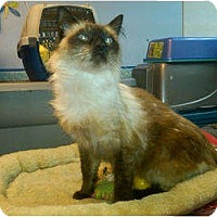 Adopt A Pet :: Frankie (front declaw) - Sterling Hgts, MI