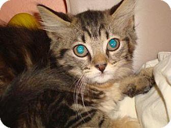 Domestic Mediumhair Cat for adoption in Miami, Florida - Inez