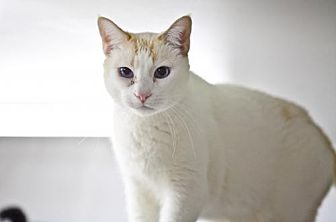 Domestic Shorthair Cat for adoption in Midway City, California - Sawyer