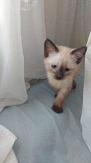 Siamese Kitten for adoption in Sunny Isles Beach, Florida - Samson