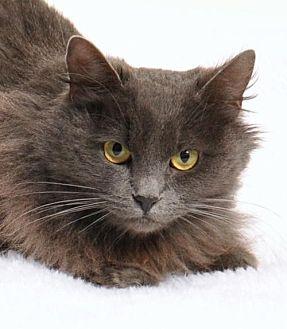 Domestic Shorthair Cat for adoption in Roseville, California - Baby