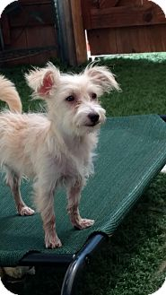 Terrier (Unknown Type, Small) Mix Puppy for adoption in San Diego, California - Roxie