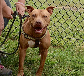 American Staffordshire Terrier/Terrier (Unknown Type, Medium) Mix Dog for adoption in Yonkers, New York - Nutmeg