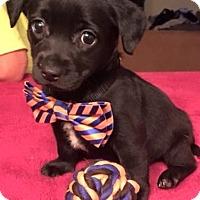 Adopt A Pet :: Cole - Allentown, PA