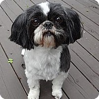 Adopt A Pet :: Daisy Mae - Shawnee Mission, KS