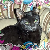 Domestic Shorthair Cat for adoption in Los Angeles, California - Rochana