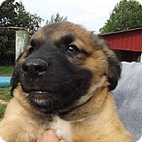 Adopt A Pet :: PeeWee - Danbury, CT