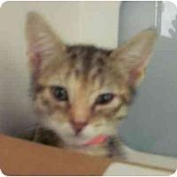 Adopt A Pet :: Aphrodite - Maywood, NJ