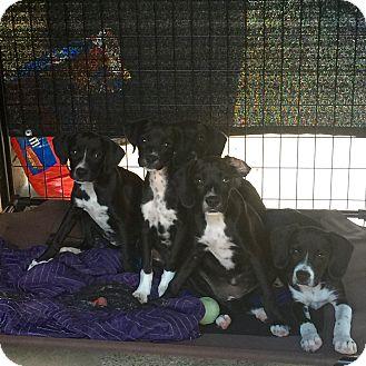 Labrador Retriever/Great Dane Mix Puppy for adoption in Long Beach, California - Dane Lab Mix Pups