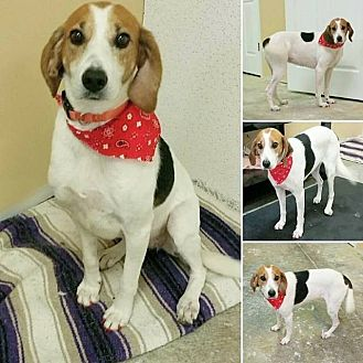 Treeing Walker Coonhound/Beagle Mix Dog for adoption in Shaw AFB, South Carolina - Mollie