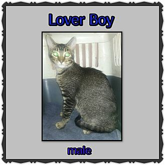Domestic Shorthair Cat for adoption in Richmond, California - Lover Boy