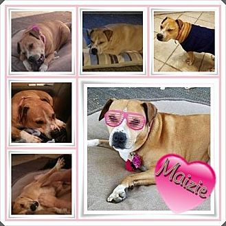 Terrier (Unknown Type, Medium)/American Pit Bull Terrier Mix Dog for adoption in Louisiana, Missouri - Maizie