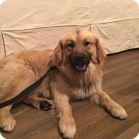 Adopt A Pet :: Paddy - Centreville, VA