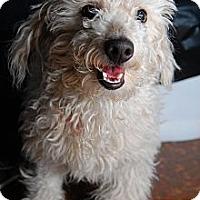 Adopt A Pet :: Santino - New York, NY