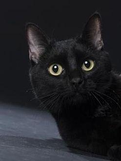 Domestic Shorthair Cat for adoption in Denver, Colorado - Banksy