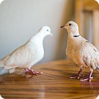 Adopt A Pet :: Vie - Lenexa, KS