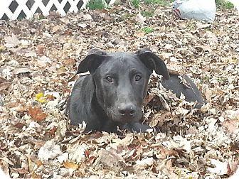 Labrador Retriever Mix Dog for adoption in Columbus, Indiana - Sophie
