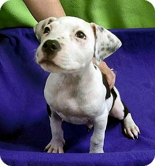 Terrier (Unknown Type, Medium) Mix Puppy for adoption in Detroit, Michigan - Pluto-Adopted!