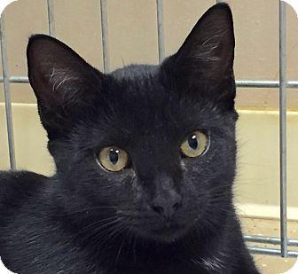 Domestic Shorthair Cat for adoption in Norwalk, Connecticut - Theta