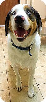 Australian Shepherd Mix Dog for adoption in Littleton, Colorado - BLUE