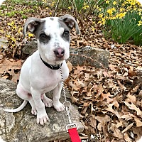 Adopt A Pet :: Ralphie in CT - Manchester, CT
