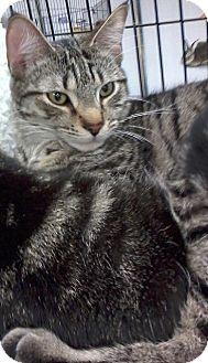 Domestic Shorthair Kitten for adoption in Fairborn, Ohio - Abe-Diamond Litter