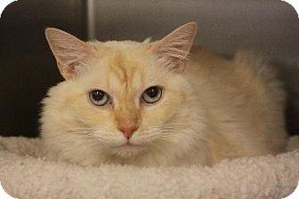 Siamese Cat for adoption in Chino, California - Bellagio